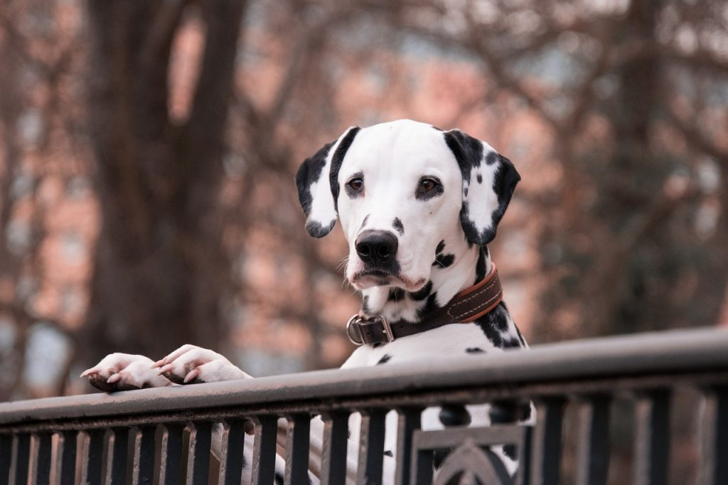 dream white dog