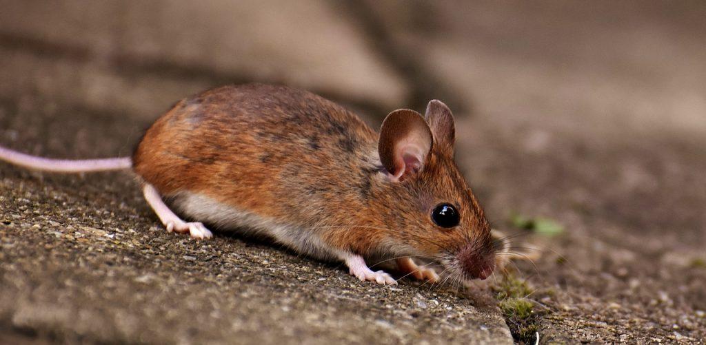 rat dream interpretation