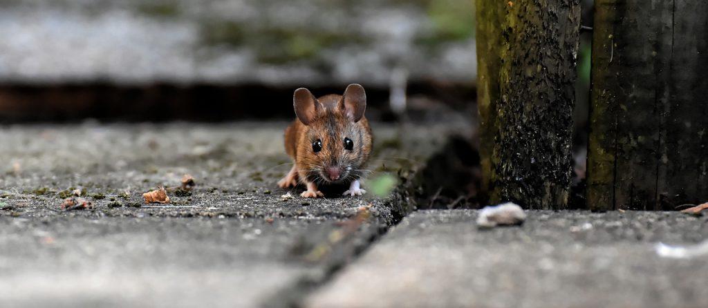 rat dream meaning