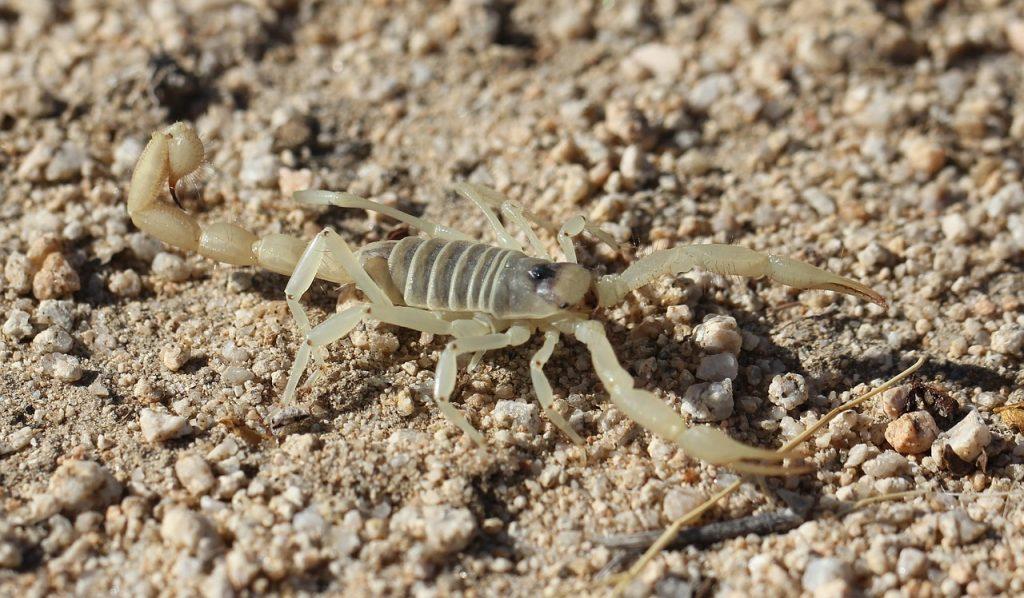 white scorpion dream