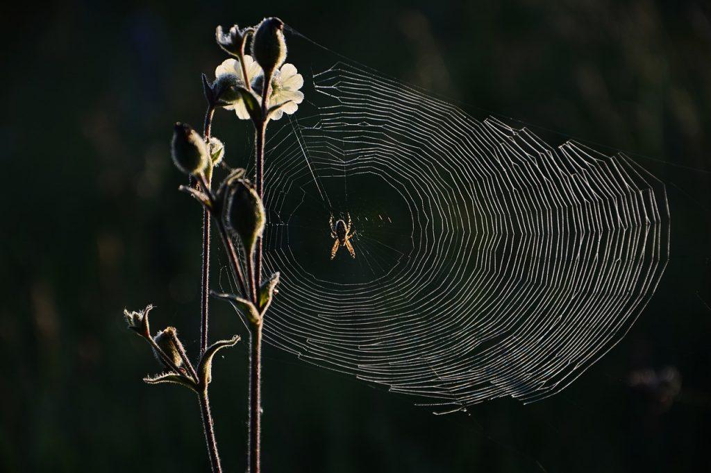 dream cow webs