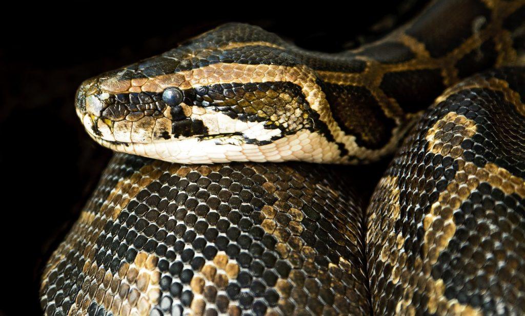 dream meaning boa snake