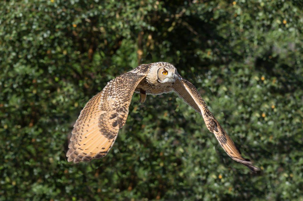 dream dead owl