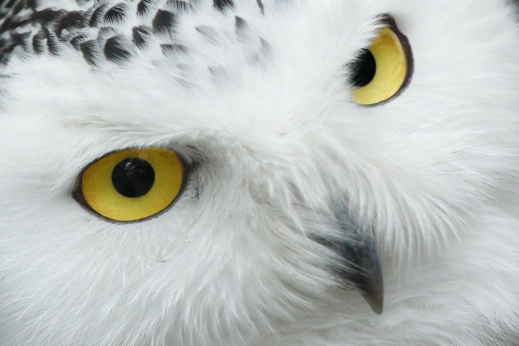 dream white owl
