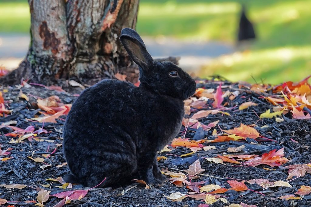 dream black rabbit
