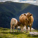 cow dream interpretation