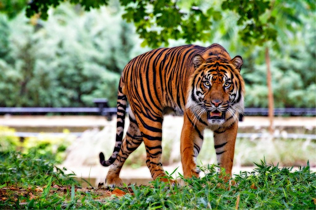 tiger dream interpretation