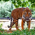 tiger dream interpretation