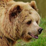 Bear Dream Interpretation