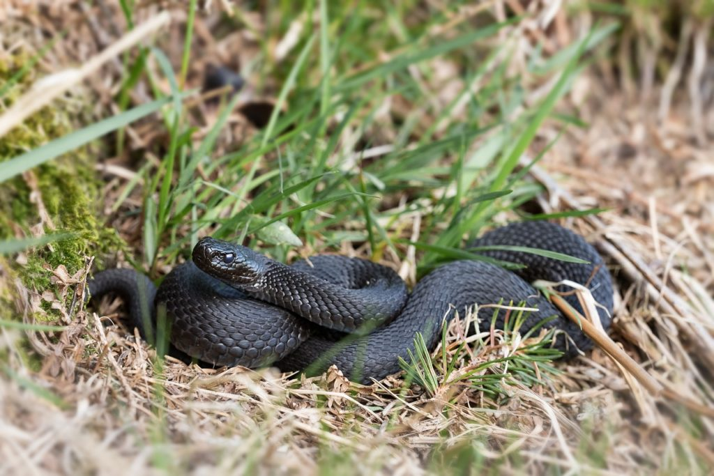 Black Snake Dream Interpretation