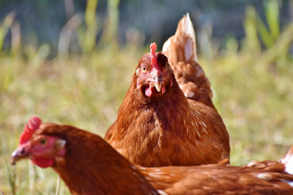 chicken dream interpretation