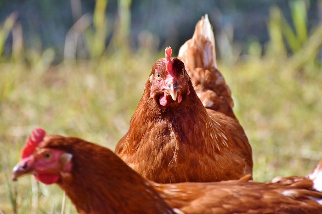 chicken dream interpretation
