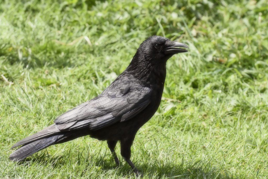 Crow Dream Interpretation