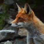 Fox Dream Interpretation