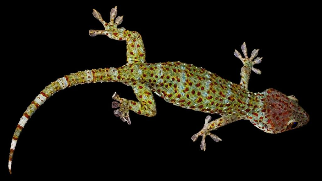 Gecko Dream Interpretation
