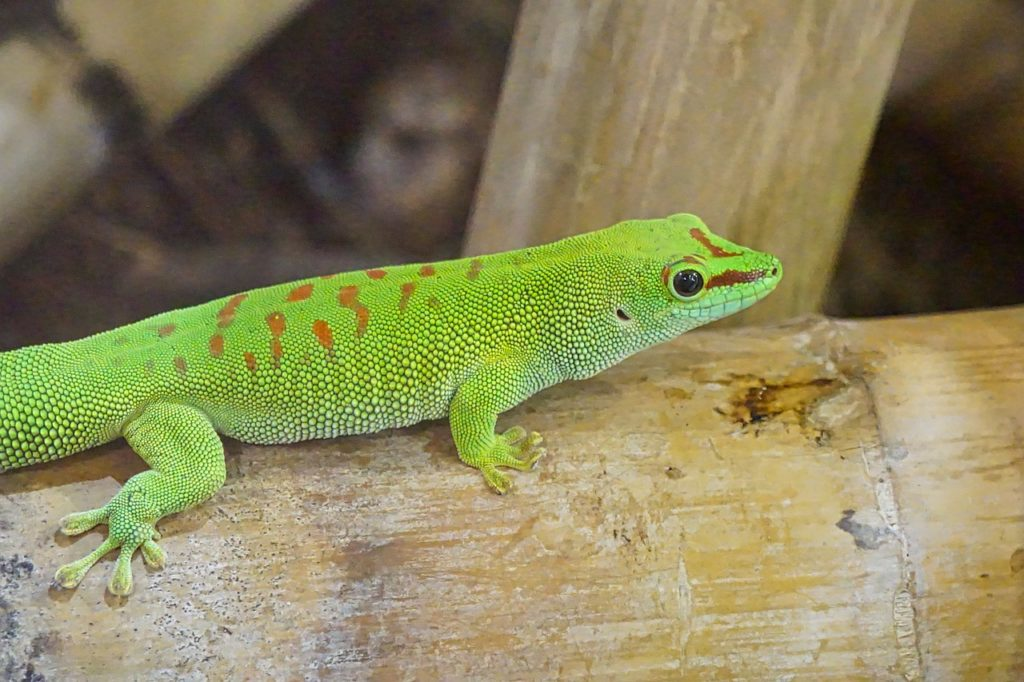 dream green gecko
