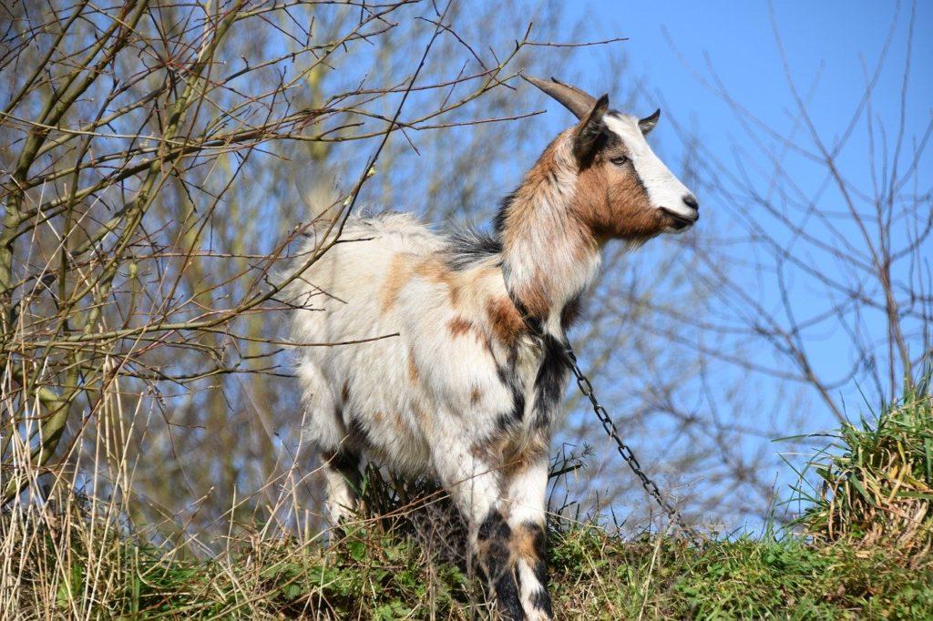 Goat Dream Interpretation