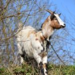 Goat Dream Interpretation