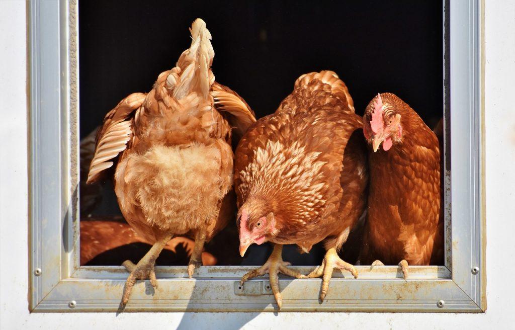 dead chicken dream meaning