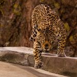 Jaguar Dream Interpretation