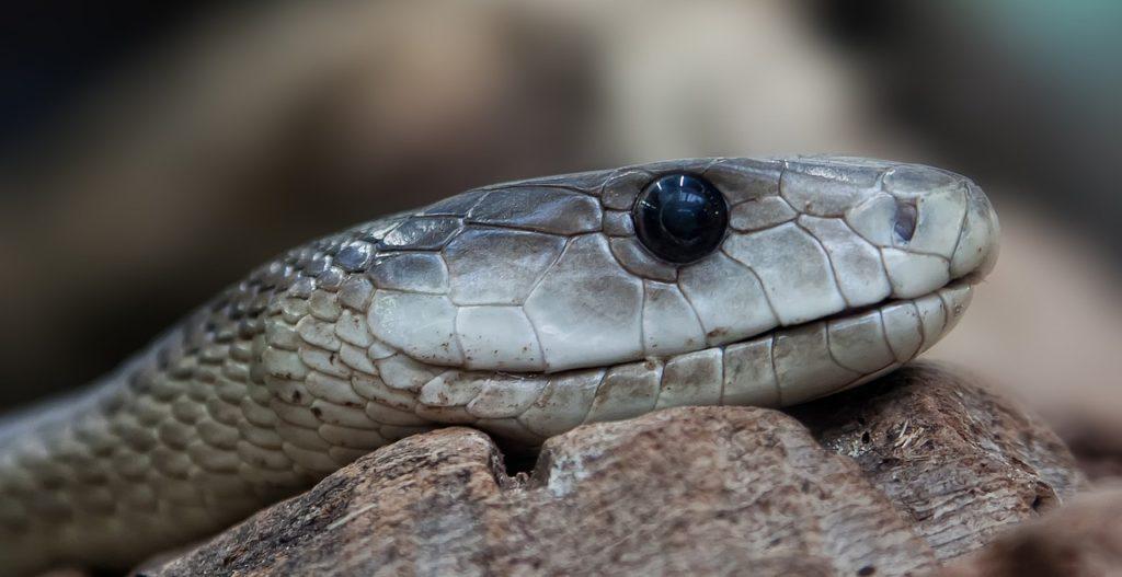 Dream About Venomous Snake Bite