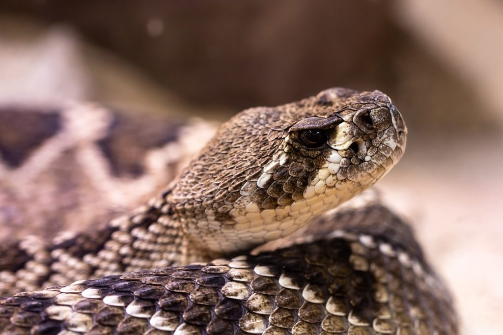 Venomous Snake Dream Interpretation