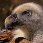 Vulture Dream Interpretation