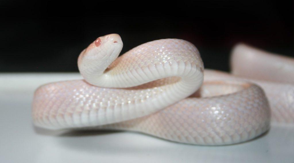 White Snake Dream Interpretation