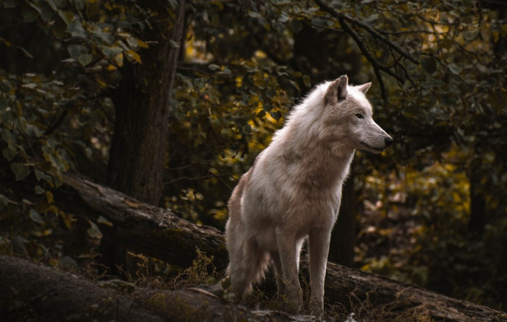 Wolf Dream Interpretation