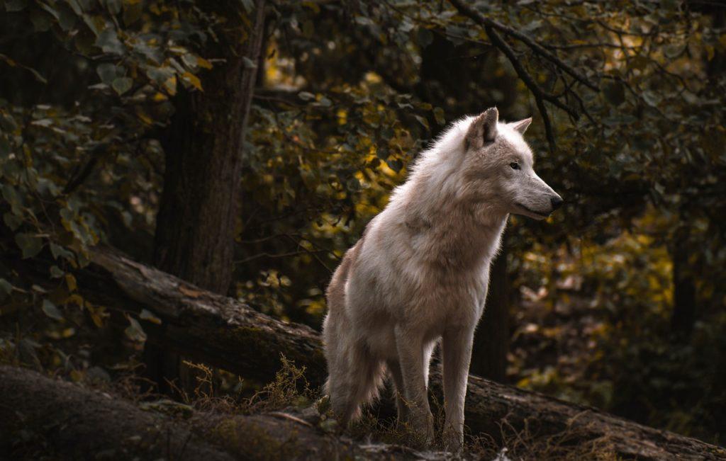 Wolf Dream Interpretation