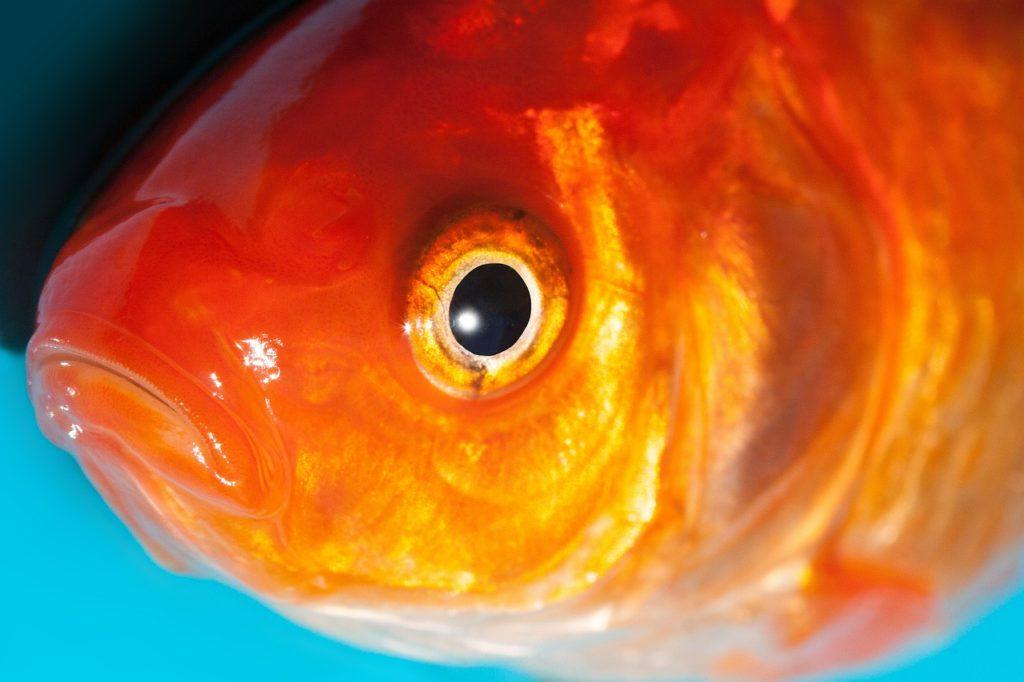 Dream Interpretation Of Dead Goldfish
