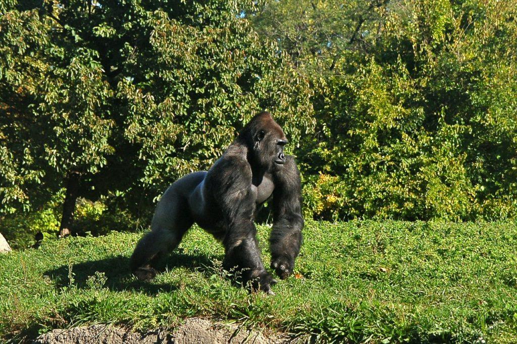 Gorilla Dream Interpretation