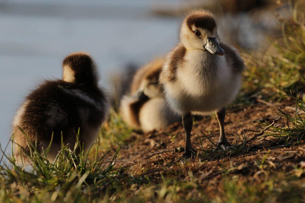 Duck Dream Interpretation