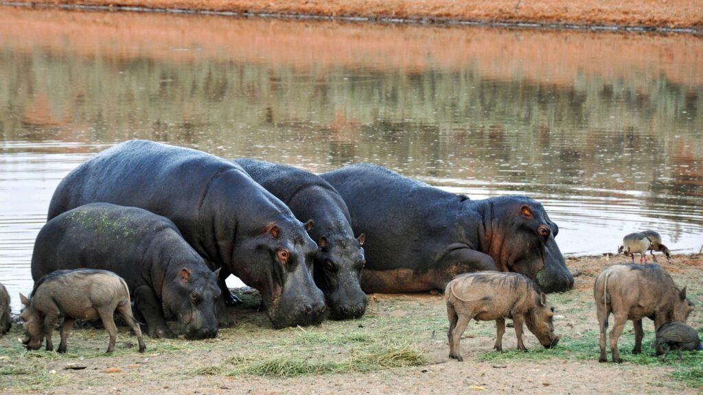 Hippopotamus Dream Interpretation