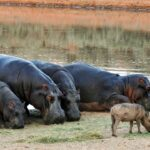 Hippopotamus Dream Interpretation