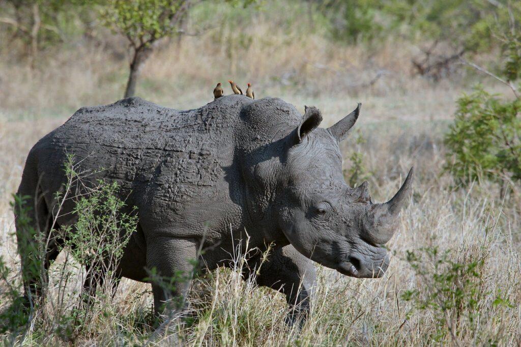 Rhinoceros Dream Interpretation