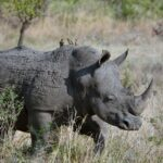 Rhinoceros Dream Interpretation