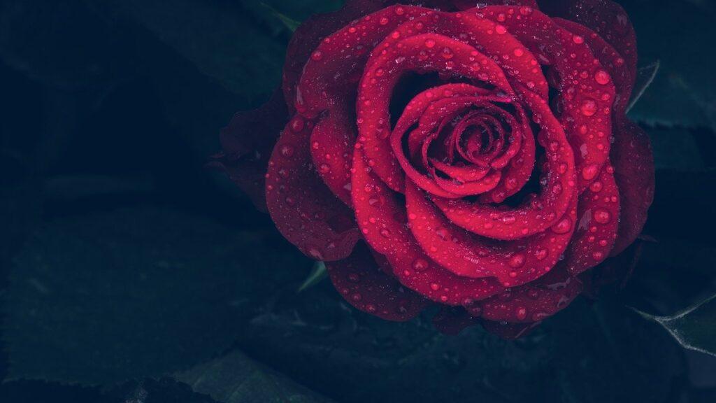 Roses Dream Interpretation