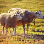 Sheep Lamb Dream Interpretation