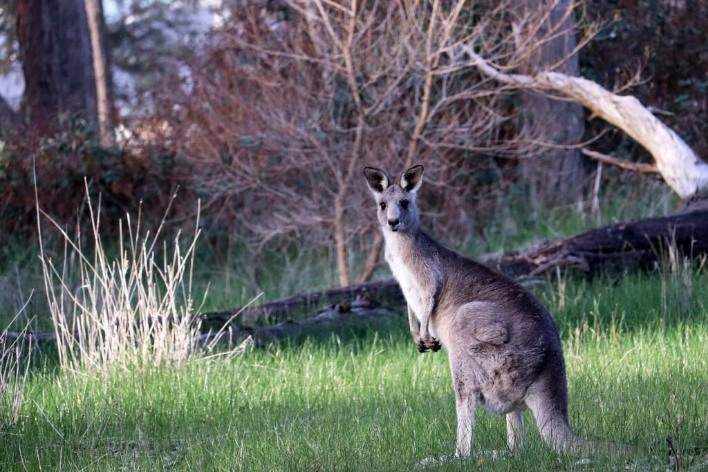 Kangaroo Dream Interpretation