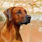 Brown Dog Dream Interpretation