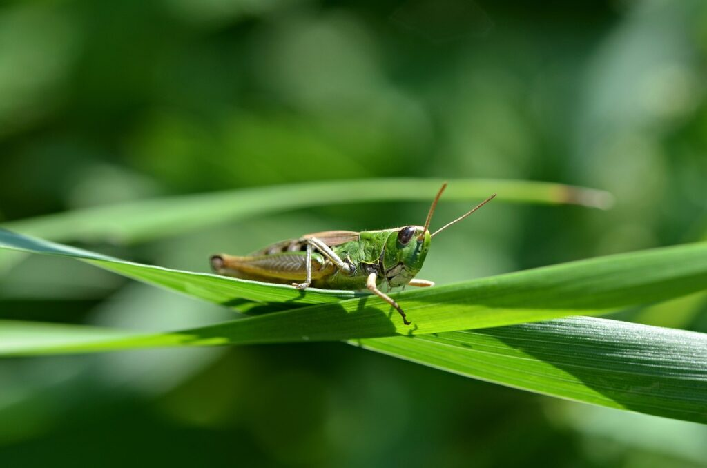 Grasshopper Dream Interpretation