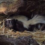 Skunk Dream Interpretation