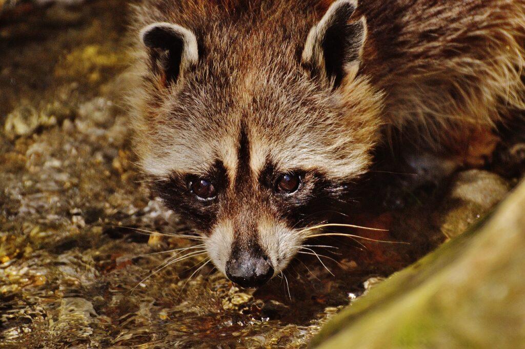Raccoon Dream Interpretation