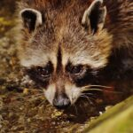 Raccoon Dream Interpretation