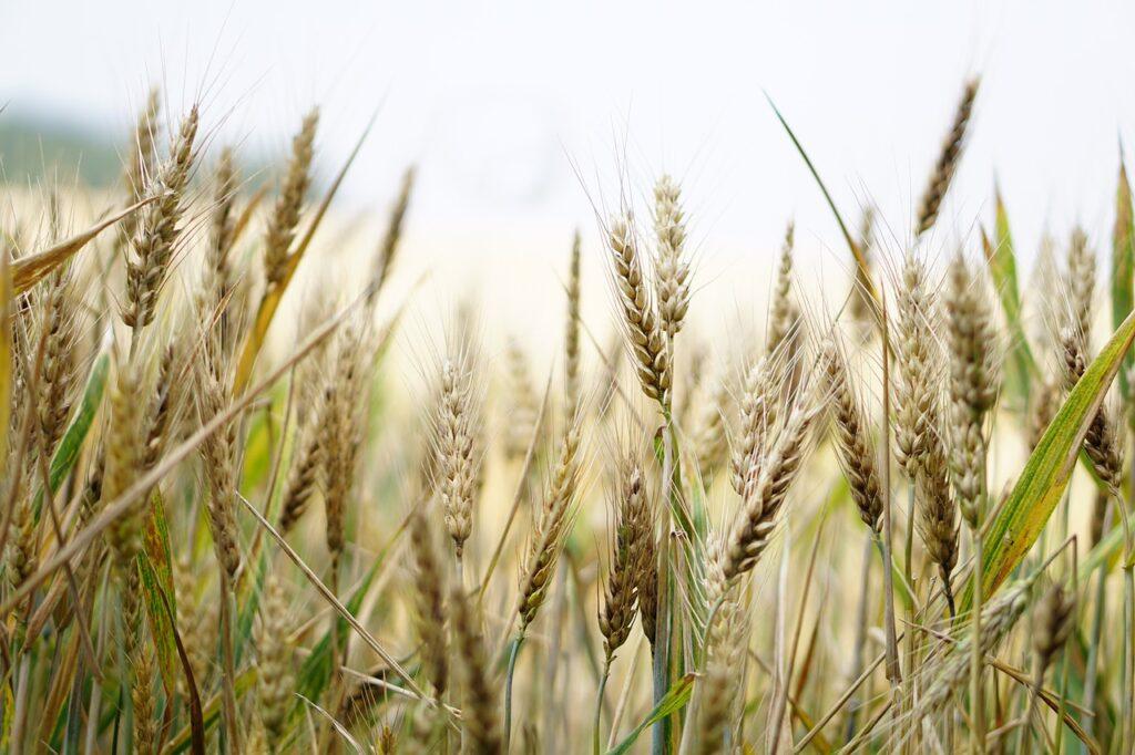 Wheat Dream Interpretation