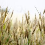Wheat Dream Interpretation