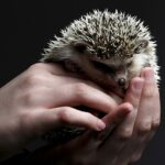 Hedgehog Dream Interpretation