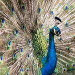 Peacock Dream Interpretation