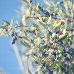 Olives Dream Interpretation